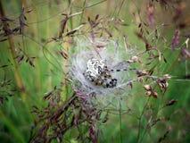 Araignée enceinte Photo stock