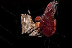 Araignée enveloppant sa proie Images stock