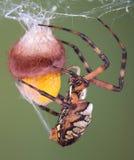 Araignée enveloppant une caisse d'oeufs images stock