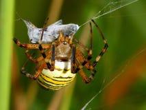 Araignée et abeille de guêpe Photo libre de droits