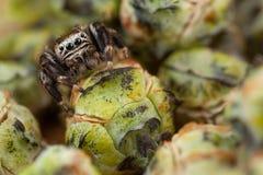 Araignée et bourgeons sautants image libre de droits