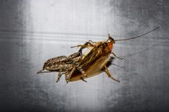 Araignée et cancrelat, und Schabe de Spinne Photographie stock libre de droits