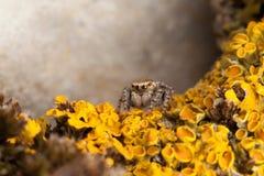 Araignée et lichens jaunes photographie stock libre de droits