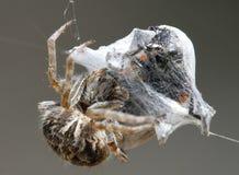 Araignée et proie emprisonnée de voracité Photo libre de droits