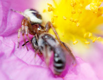 Araignée et proie emprisonnée de voracité au-dessus d'une fleur Photo stock