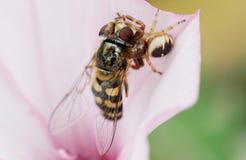 Araignée et proie emprisonnée de voracité au-dessus d'une fleur Photo libre de droits