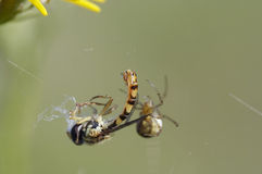 Araignée et sa proie photos stock