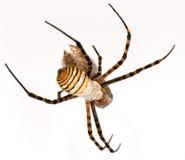Araignée et sa victime Photos stock