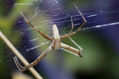 Araignée et Web Image stock