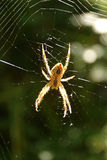 Araignée et Web Photo stock