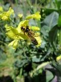 Araignée exemplaire Synema Globosum avec la proie photos stock