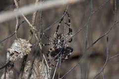 Araignée fâchée Image libre de droits