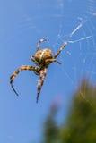 Araignée femelle Image libre de droits