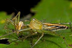Araignée femelle de lynx mangeant l'araignée mâle de lynx Images libres de droits