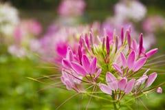 Araignée-fleur épineuse Images libres de droits