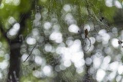 Araignée géante sur la toile d'araignée avec le fond de bokeh Images libres de droits