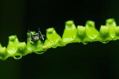 Araignée imitatrice de fourmi Photos libres de droits