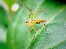 Araignée jaune Photographie stock