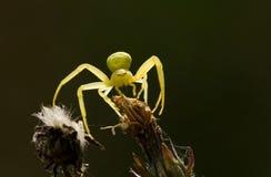 Araignée jaune Photos libres de droits