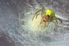Araignée jaune dans la toile d'araignée photographie stock libre de droits