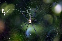 Araignée jaune et noire Images stock