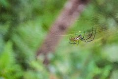 Araignée jaune et noire s'élevant sur sa toile d'araignée construite sur l'arbre Détail d'araignée et de son Web sur le vert image stock