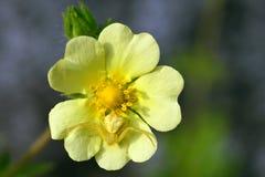 Araignée jaune sur la fleur jaune 02 Image libre de droits