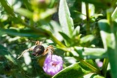 Araignée laide rampant sur sa toile d'araignée image libre de droits