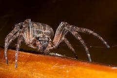 araignée Macro Photo libre de droits