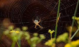 Araignée magnifique sur la toile d'araignée photo stock