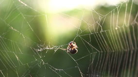 Araignée mangeant la victime clips vidéos