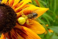 Araignée mangeant une mouche Photo stock