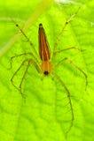 Araignée masculine de lynx Photo libre de droits
