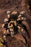Araignée mexicaine de Redknee Photographie stock libre de droits