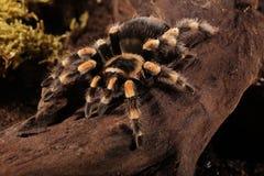 Araignée mexicaine de Redknee Image stock