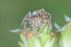 Araignée minuscule de linx Photo libre de droits
