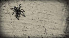 Araignée minuscule sur le mur image libre de droits