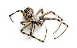 Araignée morte de guêpe, bruennichi d'Argiope, Photographie stock libre de droits