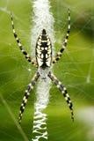 Araignée noire et jaune d'Argiope sur le Web Photographie stock libre de droits