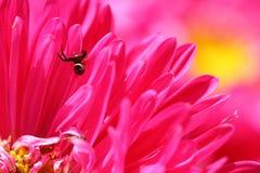 Araignée noire sur la fleur rose de marguerite images libres de droits