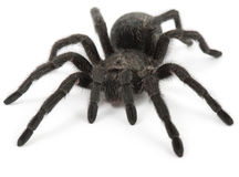Araignée noire. Tarentule Grammostola Pulchra Images stock
