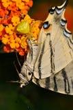Araignée (onustus de Thomisus) avec son machaon rare de proie de papillon (podalirius d'Iphiclides) Photos libres de droits