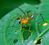 Araignée orange de Lynx Photos libres de droits