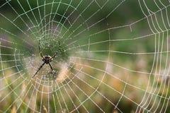 Araignée pendant le matin après la pluie Photographie stock libre de droits