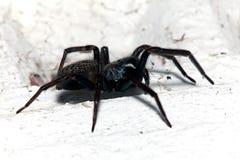 Araignée, petite Chambre noire, Badumna Longinqua Photos stock