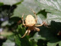 Araignée prenant le déjeuner Photographie stock