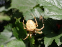 Araignée prenant le déjeuner Photo stock