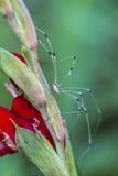 Araignée rayée de Long-jambe de papa de moissonneur - vittatum de Leiobunum Photo libre de droits