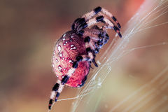 Araignée rouge image libre de droits
