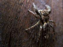 Araignée sautante photographie stock libre de droits